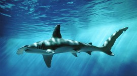 Hammerhead Shark Wallpaper Free