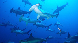 Hammerhead Shark Wallpaper Full HD
