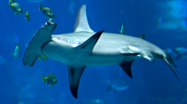 Hammerhead Shark Wallpaper Gallery