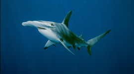 Hammerhead Shark Wallpaper HD