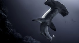 Hammerhead Shark Wallpaper HQ
