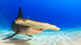 Hammerhead Shark Wallpaper High Definition