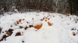 Mushrooms Snow Photo Download