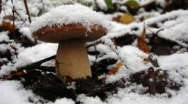 Mushrooms Snow Photo Free#1