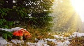 Mushrooms Snow Picture Download