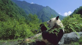 Pandas Reserve In China High Quality Wallpaper