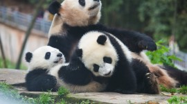 Pandas Reserve In China Wallpaper 1080p