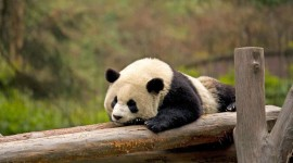 Pandas Reserve In China Wallpaper Background