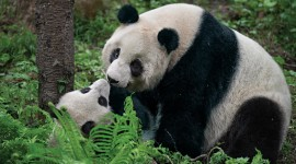 Pandas Reserve In China Wallpaper Download Free