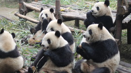 Pandas Reserve In China Wallpaper For Desktop