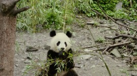 Pandas Reserve In China Wallpaper For IPhone