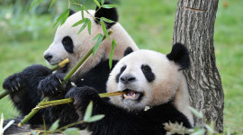 Pandas Reserve In China Wallpaper Free