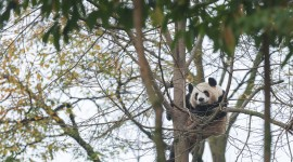 Pandas Reserve In China Wallpaper Gallery