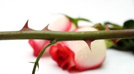 Rose Thorns Wallpaper For Desktop