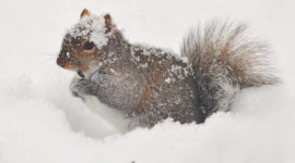Squirrel Snow Desktop Wallpaper