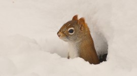 Squirrel Snow Desktop Wallpaper For PC