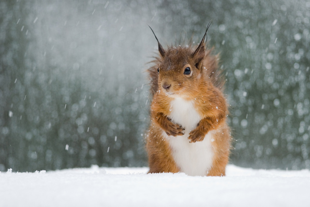 Squirrel Snow wallpapers HD