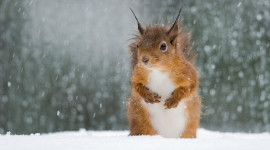 Squirrel Snow Wallpaper