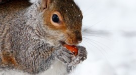 Squirrel Snow Wallpaper For IPhone