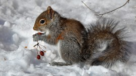 Squirrel Snow Wallpaper Free