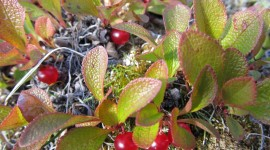 Bearberry Desktop Wallpaper For PC
