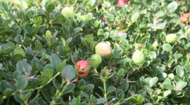 Bearberry Photo