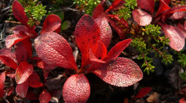Bearberry Photo Download