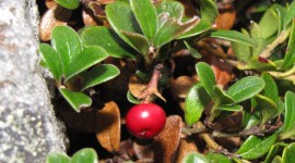 Bearberry Picture Download