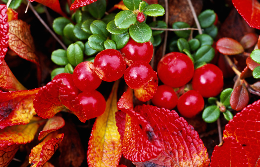 Bearberry wallpapers HD