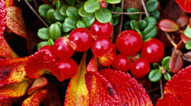 Bearberry Wallpaper