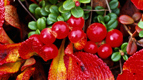 Bearberry wallpapers high quality