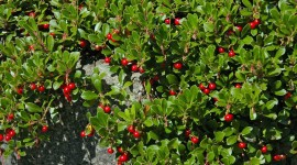 Bearberry Wallpaper Download Free