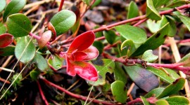 Bearberry Wallpaper For Android