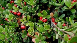 Bearberry Wallpaper For Desktop