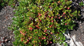 Bearberry Wallpaper For PC