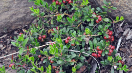Bearberry Wallpaper Gallery