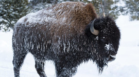 Bison Winter Image