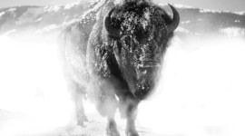 Bison Winter Photo