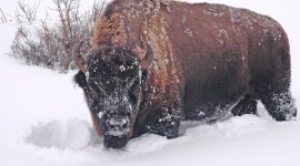 Bison Winter Photo Download