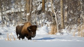 Bison Winter Photo Free