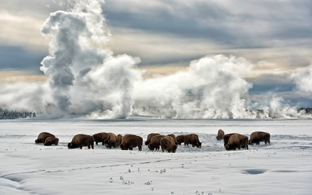 Bison Winter wallpapers HD
