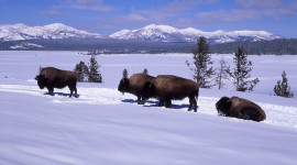 Bison Winter Wallpaper For Desktop