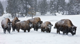 Bison Winter Wallpaper For PC