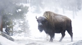 Bison Winter Wallpaper Free