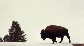 Bison Winter Wallpaper Gallery