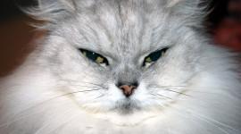 Fat Cat Desktop Wallpaper