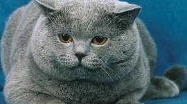Fat Cat Wallpaper For Desktop