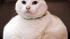 Fat Cat Wallpaper Free