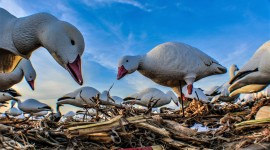 Hunt Snow Geese Photo