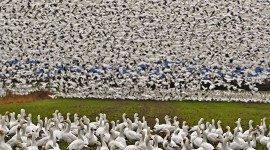 Hunt Snow Geese Wallpaper For PC